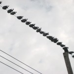 High-wire Birds