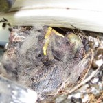 Welcome Baby Birds!