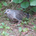 Bird and Book: Mourning Dove