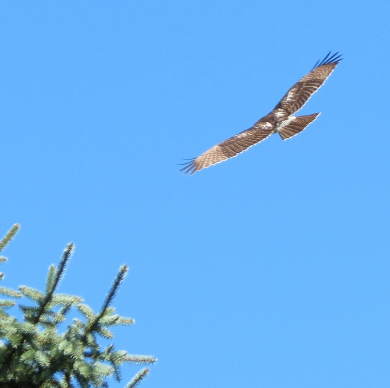 hawk circling in the sky